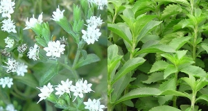 stevia-bloom-herb_600x320